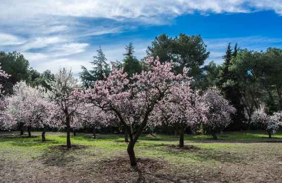 Route of almond trees in flower by Majorca